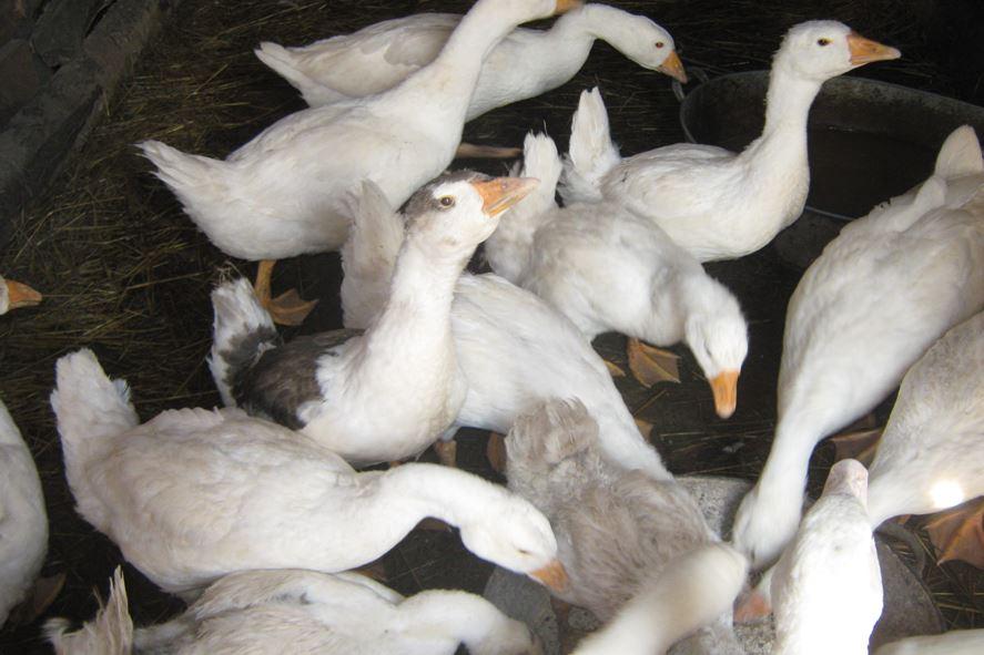 краснозерская порода гусей