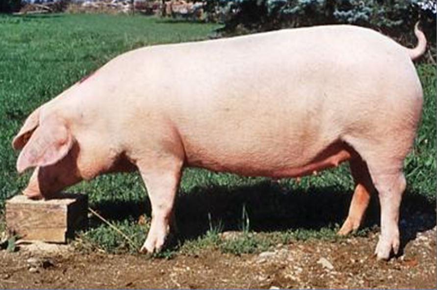 свиноматка мясного типа