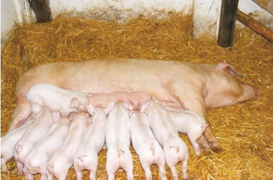 кемеровская свиноматка мясного типа с поросятами