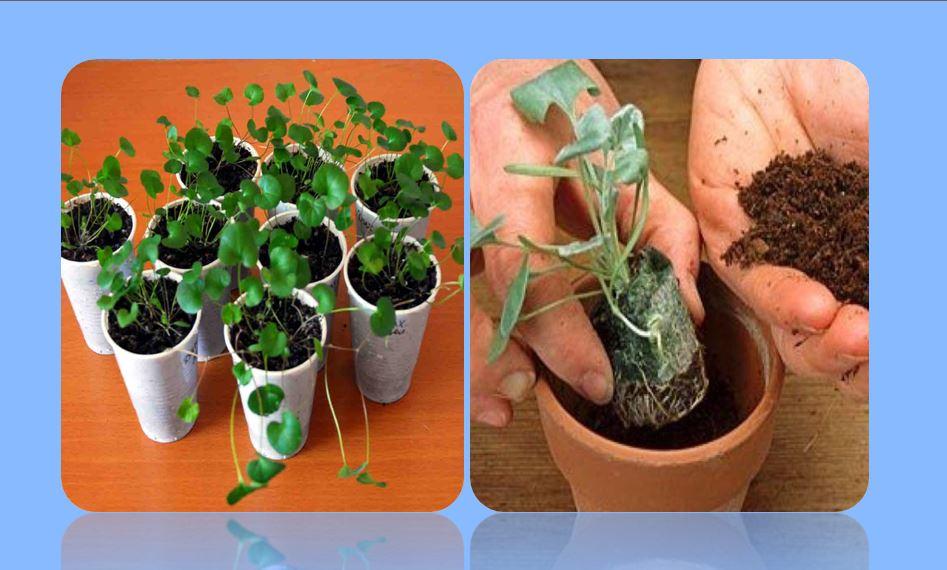 выращивание дихондры из семян