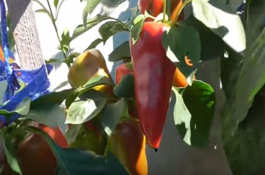 перец в открытом грунте