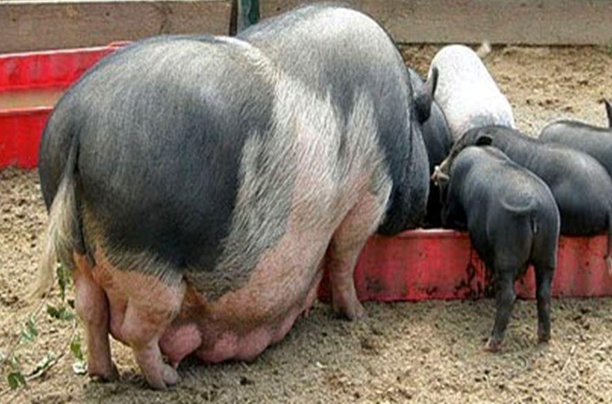 вислобрюхая свинья с поросятами на прогулке