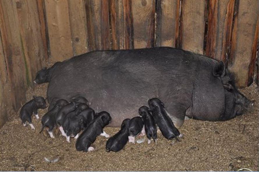 вислобрюхая свиноматка с поросятами