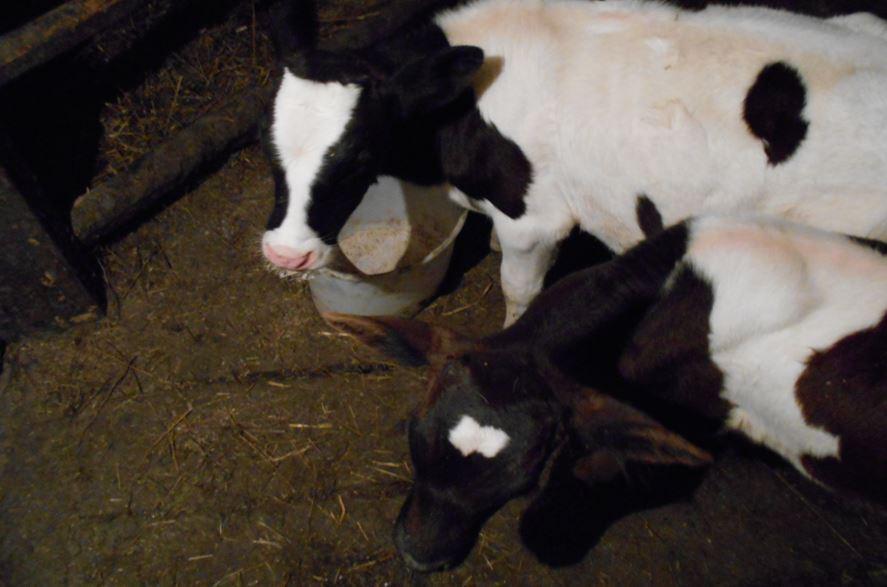 дополнительный доход с коров - телята