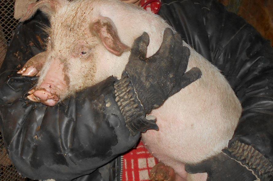 свинья - очень прибыльное животное