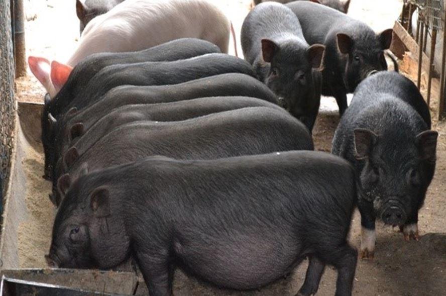 скороспелые свинки
