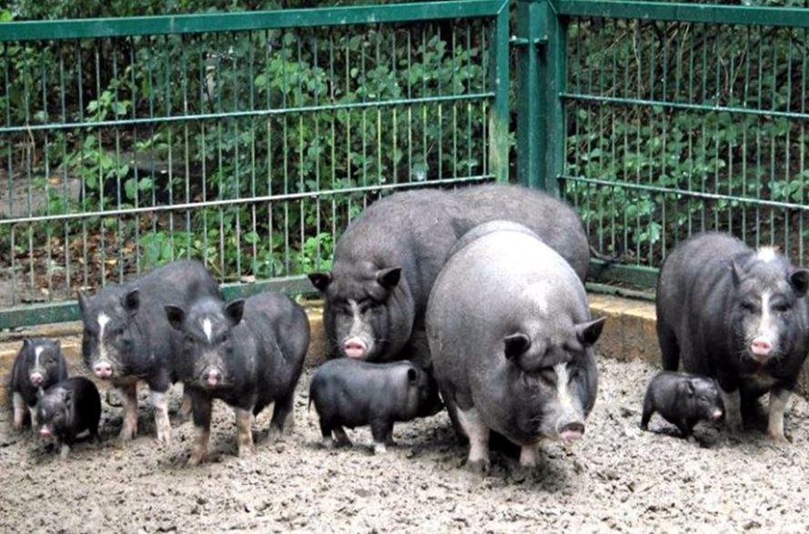 травоядные свиньи