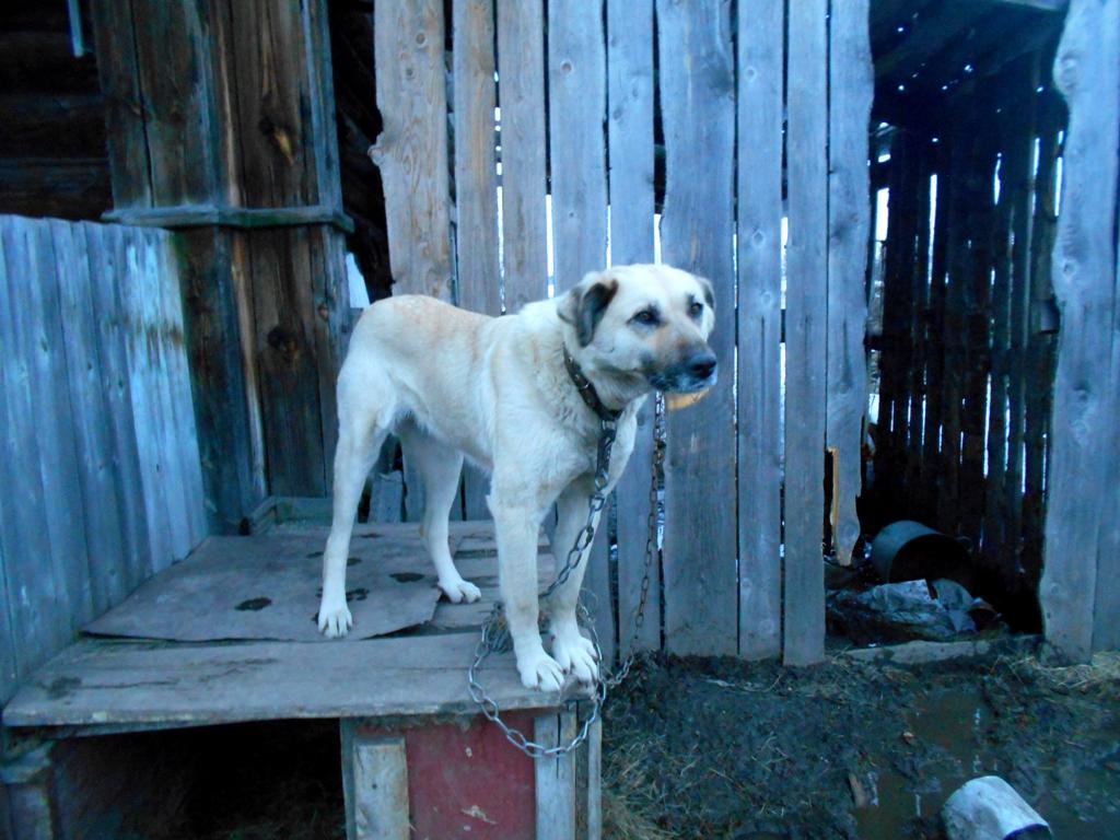 собака на будке