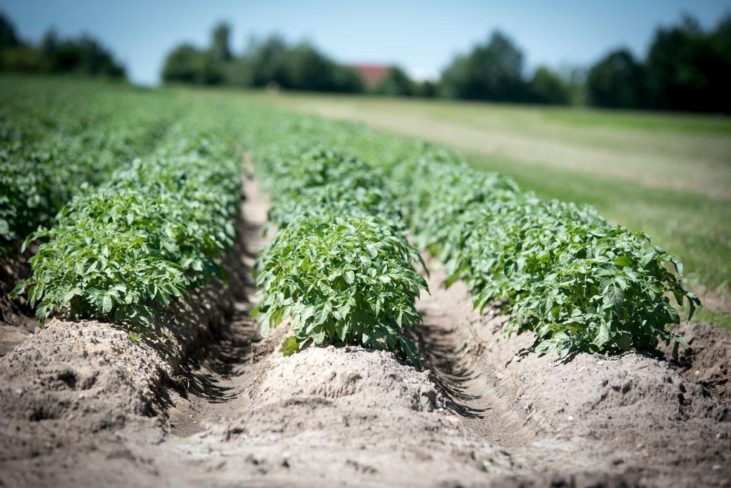 картофель в поле сорт невский