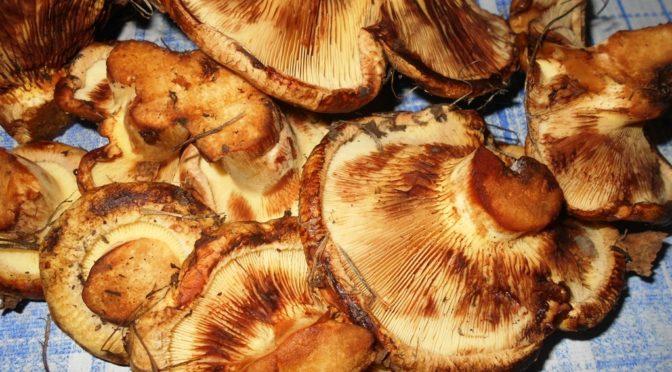 свинушки грибы