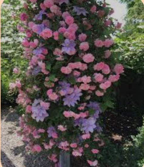 плетистая роза и клематис