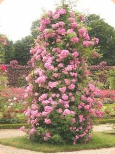 цветущий столб из плетистых роз